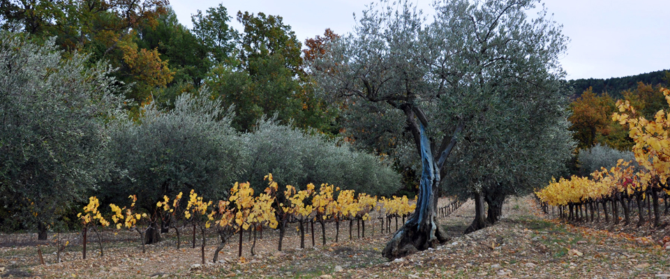 vignes-automne-Buisson