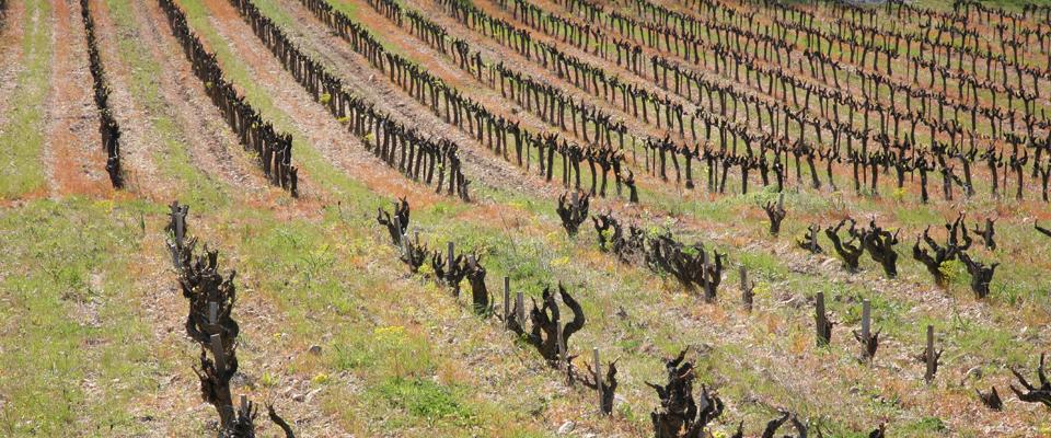 vignes-hiver-Buisson
