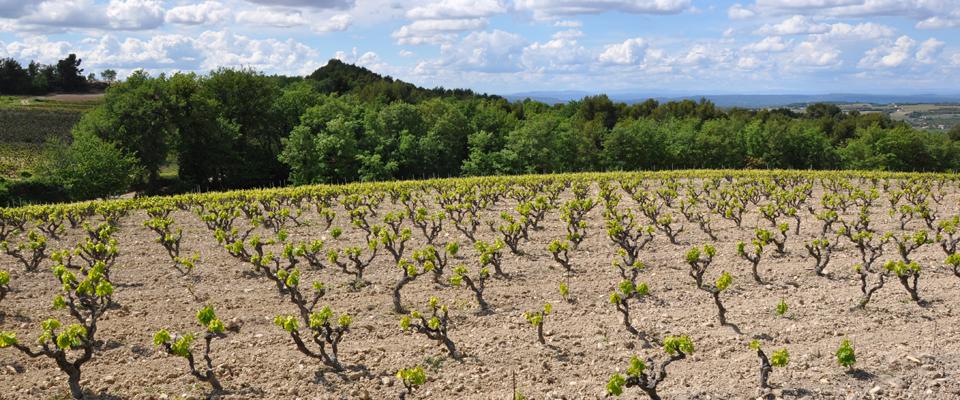 vignes-printemps-Buisson